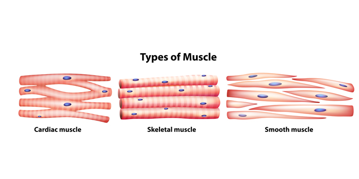 types-of-muscle